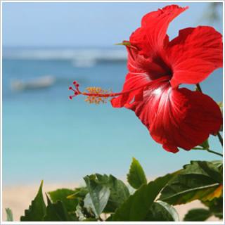 Mauritius_Hibiscus_Flower