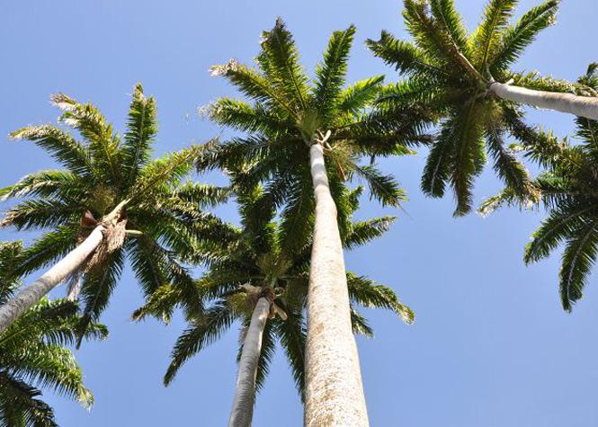 ile-maurice-palmier-royal