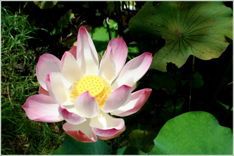 jardin-lotus