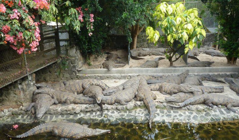 vanille-crocodile